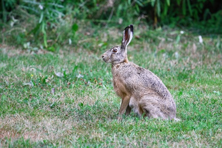 Brown Hare sits quietly in the grass