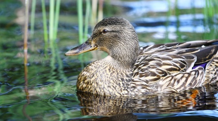 Female mallard duck (Anas platyrhynchos) swimming in a lake Stock Photo - 9773018