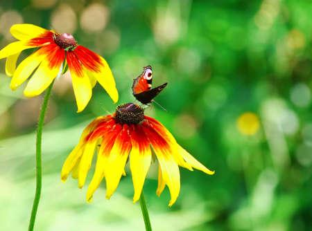 Papillon paon sur fleur jaune Banque d'images