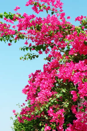 Pink blooming bougainvilleas against the blue sky photo