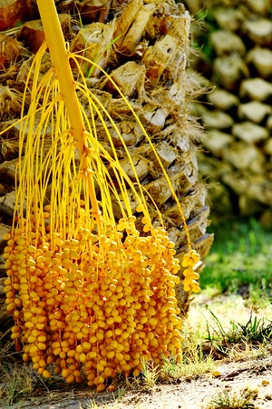 Date palm tree with dates, Greece photo