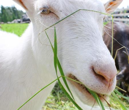 Goat on the farm photo
