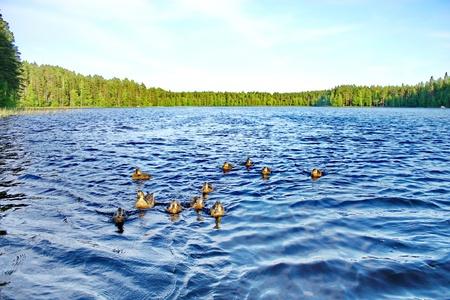 Forest pond and wild ducks photo
