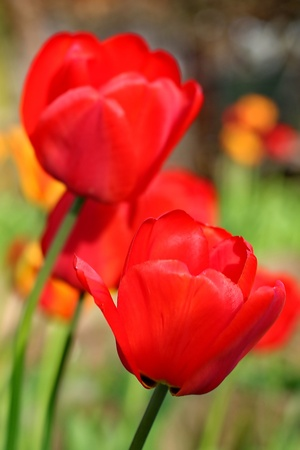 Red Tulips. The tulip is a perennial, bulbous plant with showy flowers in the genus Tulipa. photo