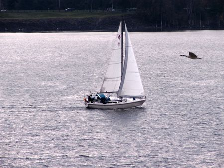 outoors: Goose flying over river with sailboat in late Fall.