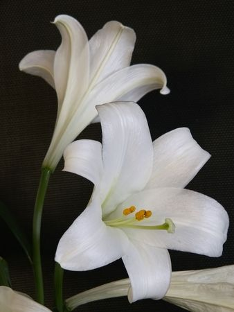 bountiful: Stunning white lillies stand out dramatically against black background. Stock Photo