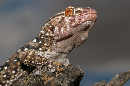 Portrait of a bibron gecko, South Africa photo