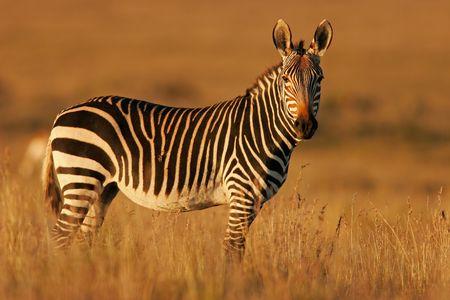 cebra: Cabo Monta�a Zebra en h�bitat natural, el Parque Nacional de las Monta�as Zebra, Sud�frica