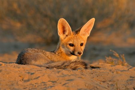 animal fox: Cape foxes resting in front of burrow, Kalahari, South Africa Stock Photo