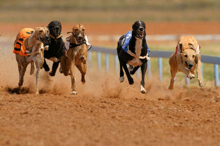 fast foot: Greyhounds at full speed during a race