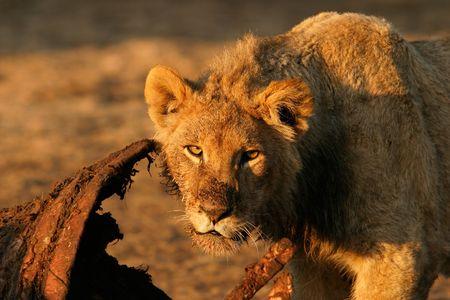 carcasse: Jeune lion alimentant sur une carcasse Banque d'images