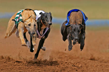greyhound: Greyhounds at full speed during a race