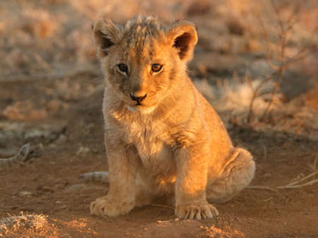 A young lion cub sitting photo