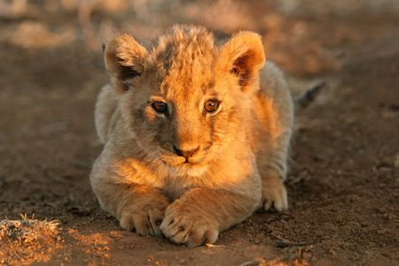A young lion cub lying down in early morning light, South Africa