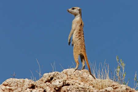 Alert suricate (meerkat) on the lookout, Kalahari, South Africa Stock Photo