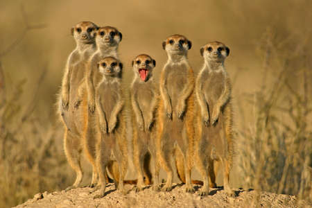 Suricate (meerkat) family, South Africa