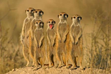 kalahari desert: Suricate (meerkat) family, South Africa