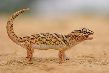 Giant ground gecko in desert environment, South Africa