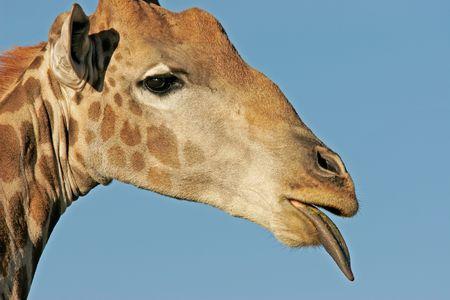 Close-up side portrait of a giraffe photo