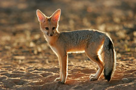 scavenger: Backlit Cape fox, Kalahari, South Africa