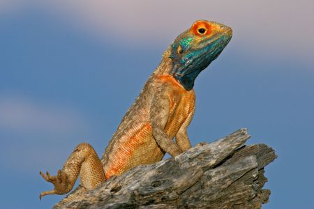 breeding ground: Male ground agama in bright breeding colors, South Africa