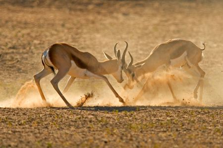 territory: Two male springbuck fighting for territory, Kalahari, South Africa