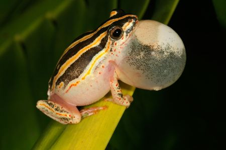 anuran: Male painted reed frog calling during the night Stock Photo