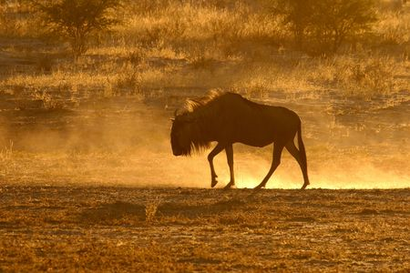 A blue wildebeest in dust at sunset,  South Africa