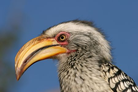 Portrait of a yellow-billed hornbill, South Africa photo