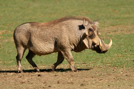 secretive: An old male warthog, South Africa Stock Photo