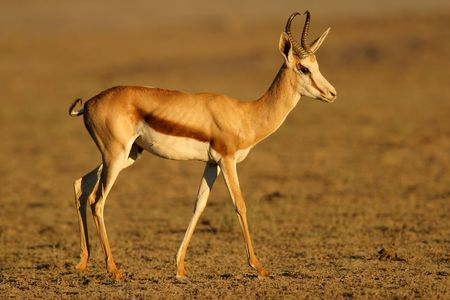 springbok: A Springbok antelope, Kalahari, South Africa