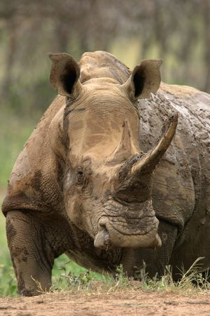 White (square-lipped) rhinoceros after a mud bath, South Africa Stock Photo