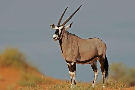 oryx: Gemsbok antelope (Oryx) on dune, South Africa