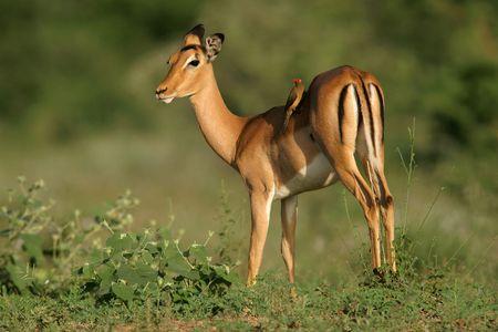 impala: A female Impala antelope with oxpecker feeding on ticks, South Africa