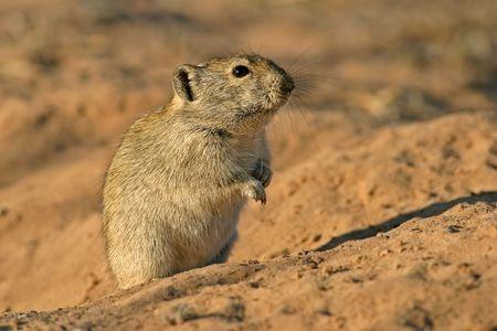 diminutive: Whistling rat in desert environment, South Africa