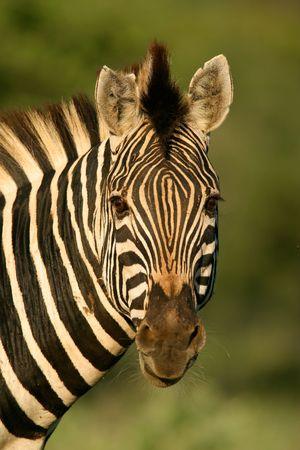 Portrait of a plains zebra, South Africa Stock Photo