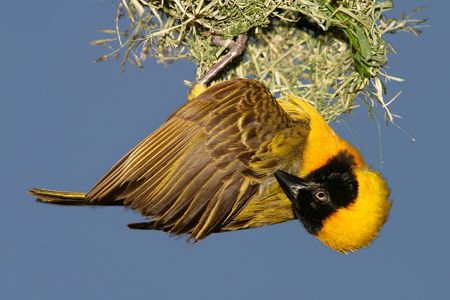 Male masked weaver hanging below nest photo