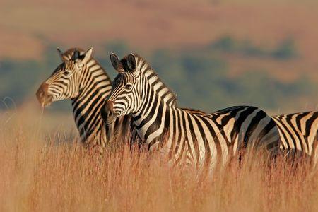 cebra: Cebras en las llanuras h�bitat natural, Sud�frica Foto de archivo
