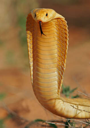 Aggressive Cape cobra with flattened hood, Kalahari, South Africs Stock Photo