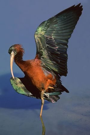 Glossy Ibis basking in the sun with outstretched wings, South Africa