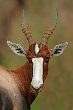 Portrait of a bontebok antelope, South Africa