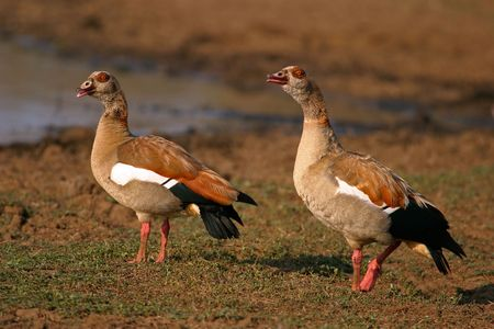 Pair of Egyptian geese, South Africa photo