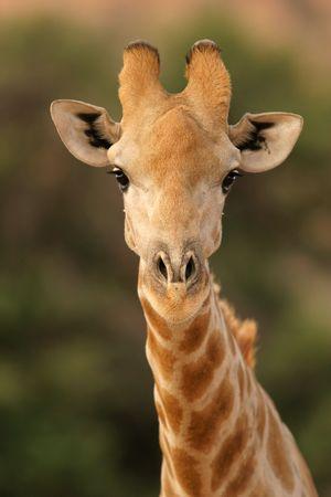 Portrait of a giraffe, South Africa photo