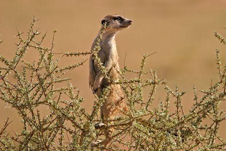 suricate: Alert suricate (meerkat) on the lookout, Kalahari, South Africa Stock Photo