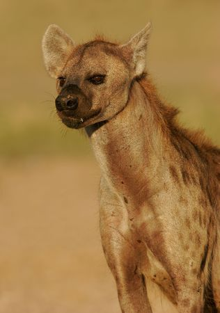 voracious: Portrait of a spotted hyena, South Africa Stock Photo