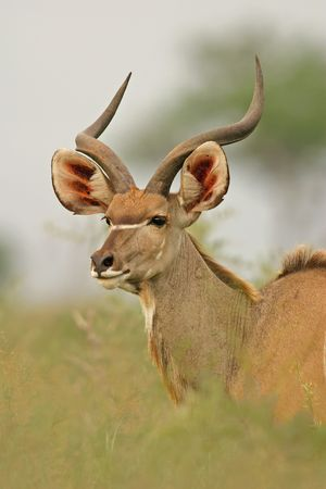 Portrait of a young male Kudu antelope, South Africa photo
