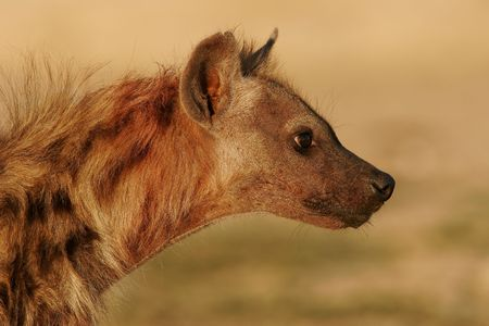 secretive: Portrait of a spotted hyena, South Africa Stock Photo