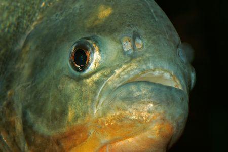 voracious: Portrait of a piranha fish