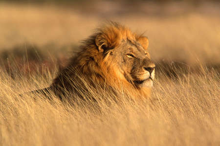 rey: Retrato de un le�n masculino grande que miente en la hierba, parque nacional de Etosha, Namibia Foto de archivo