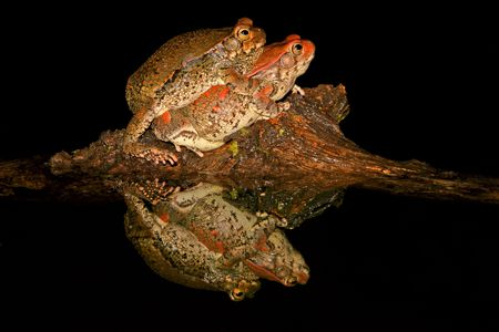 anuran: Mating red toads, South Africa